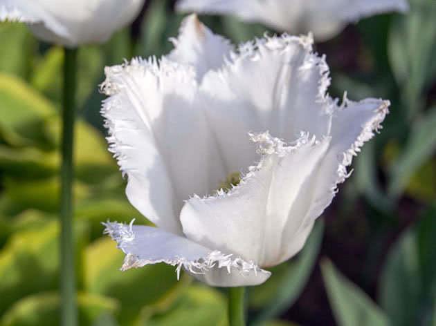 Торочкуваті тюльпани