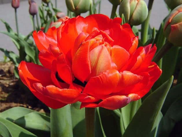 Махрові пізні тюльпани