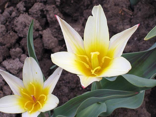 Тюльпани Кауфмана