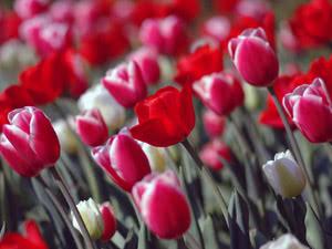 Вирощування тюльпанів