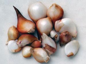 Вирощування тюльпанів у відкритому грунті