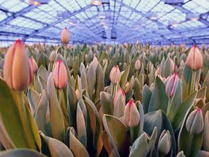 Вирощування тюльпанів у теплиці