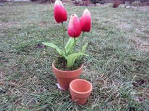 Вирощування тюльпанів у вазоні