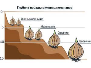 Условия посадки тюльпанов
