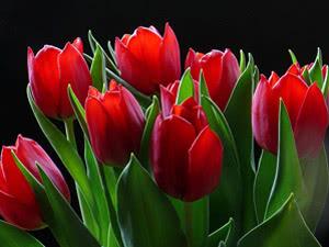 Тюльпаны – уход