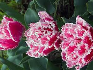 Сорти, класи та групи тюльпанів