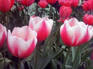 Популярні сорти тюльпанів