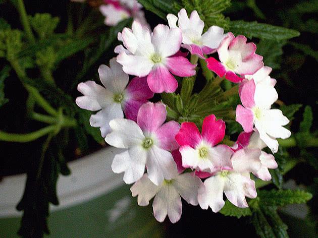 Inflorescence of verbena