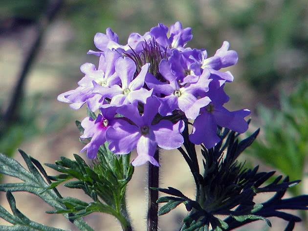 Вербена фіолетова