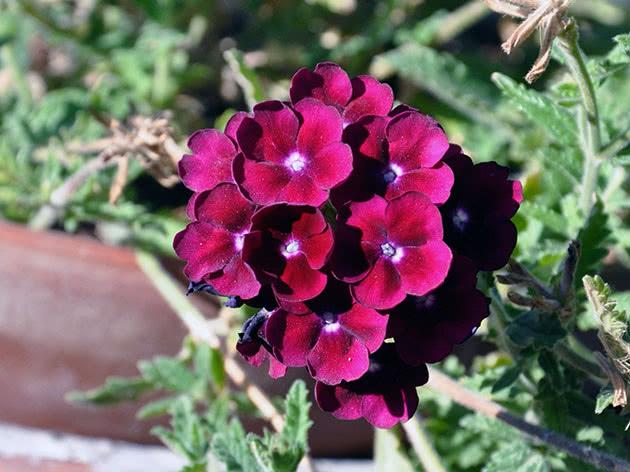 Квіти вербена