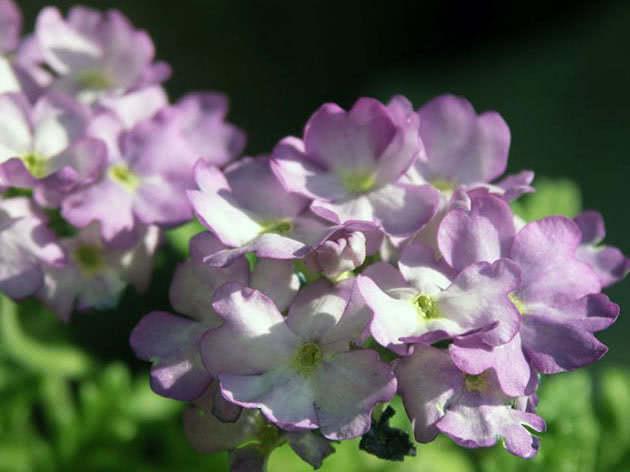 Квіти вербени