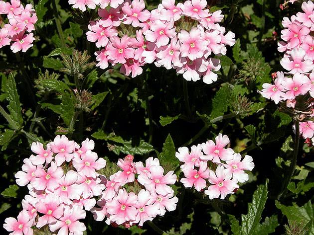 Вербена гибридная / Verbena hybrida