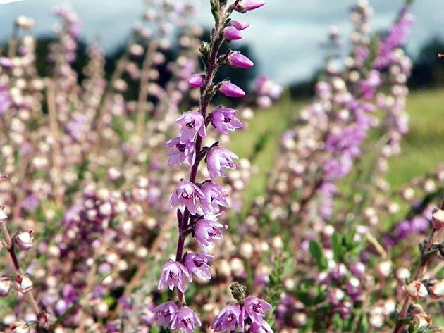 Цветы вереск в открытом грунте
