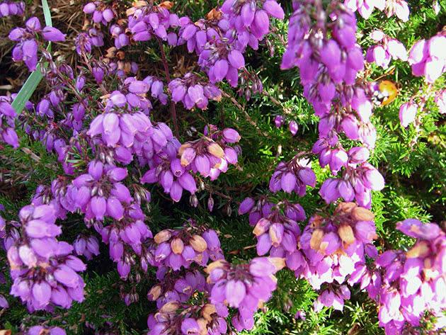 Вереск обыкновенный / Calluna vulgaris