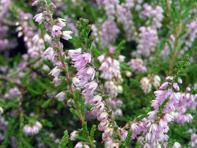 Цветок вереск обыкновенный