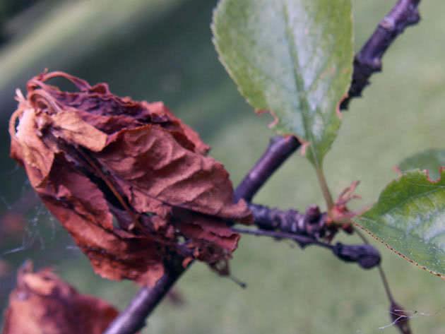 У вишні сохне листя