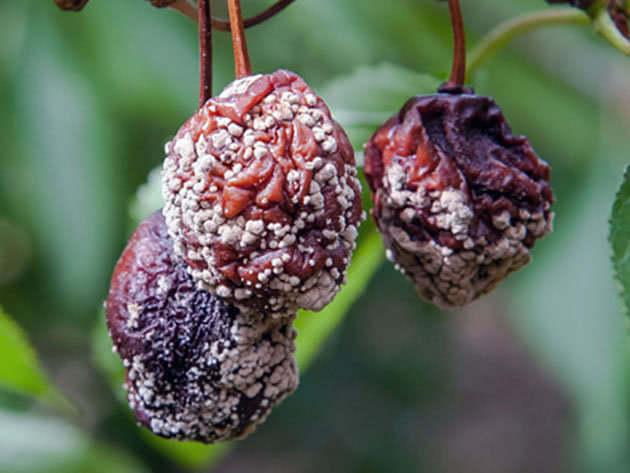 Плодова гниль вишні