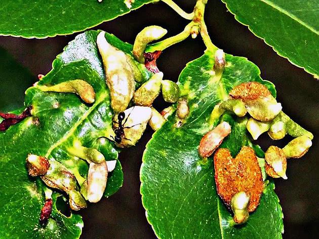Хвороба листя вишні