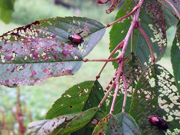 Жуки на листі вишні