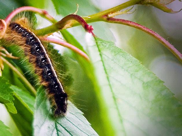 Гусениця на вишні
