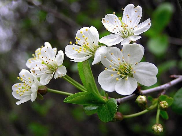 Цвітіння вишні