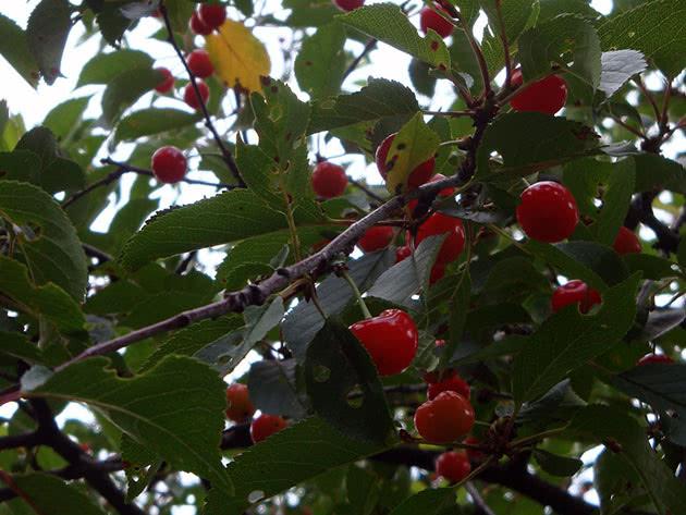 Плоди вишні на дереві