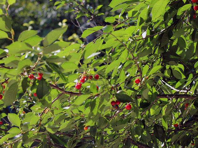 Дерево вишні в саду