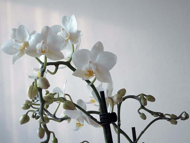 Цветение орхидеи фаленопсис