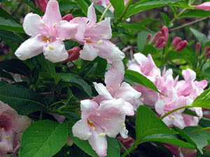 Квітка вейгела