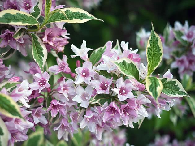 Цветы вейгелы
