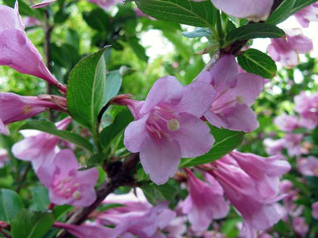 Вейгела цветущая, или вейгела флорида / Weigela florida