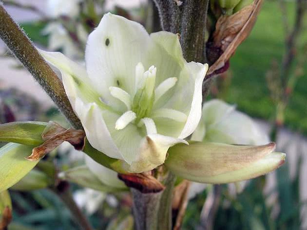 Квітка юки