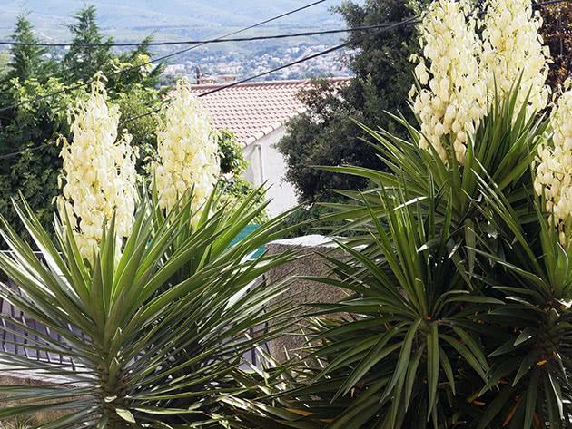 Юкка алоелиста / Yucca aloifolia