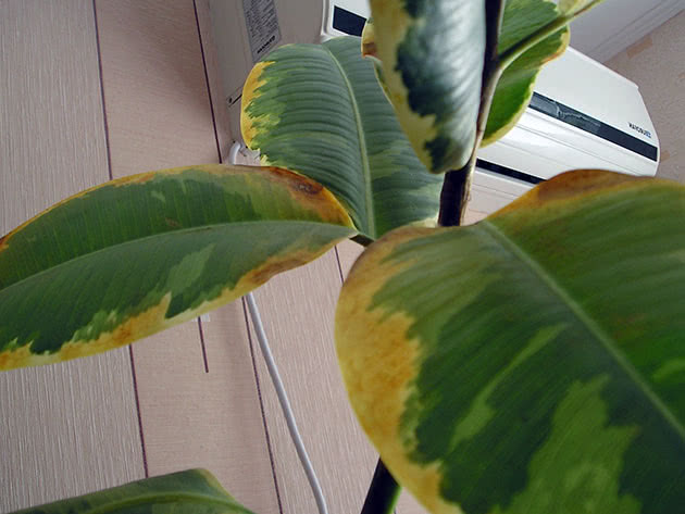 Листья фикуса желтеют