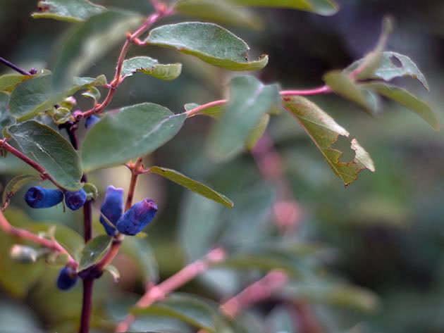 Синя жимолость