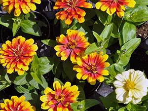 Flowers of zinnia