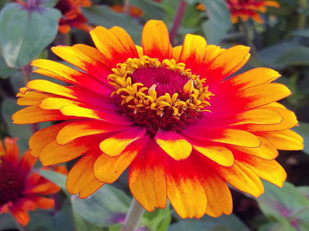 Flowering of zinnia