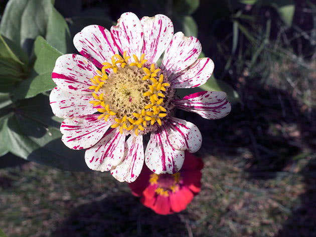 Flowering of zinnia in the garden