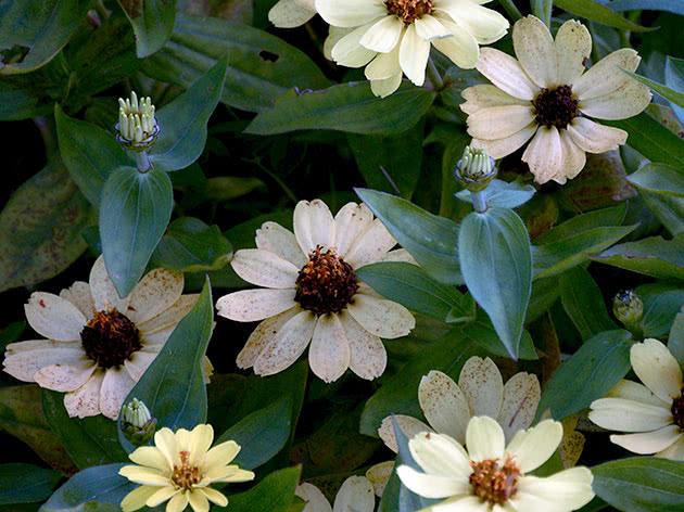 Квітучі цинії