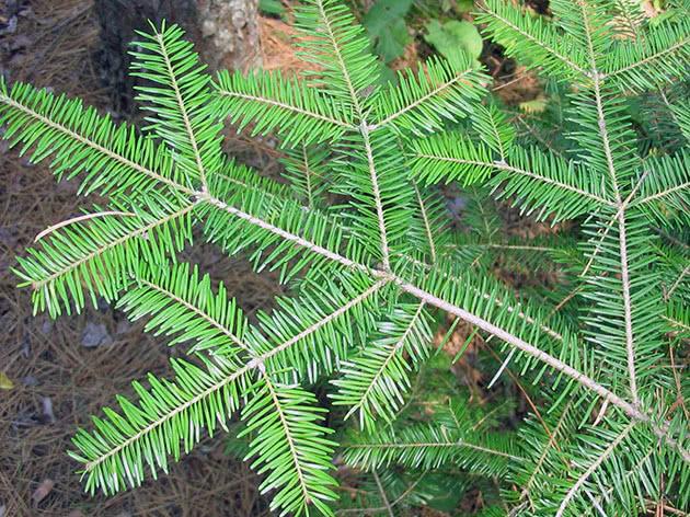 Ялиця бальзамічна / Abies balsamea