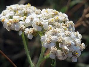 Трава тысячелистник – выращивание в саду