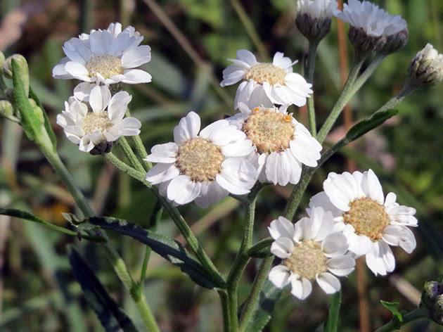 Тысячелистник птармика (Achillea ptarmica)