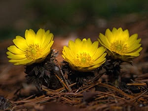 Квітка горицвіт