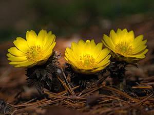 Цветок адонис