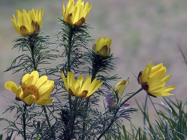 Planting and caring for adonis