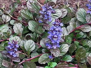 Цветы живучка (аюга)