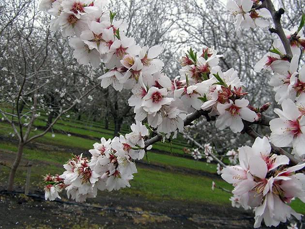 Цветение миндального дерева в саду