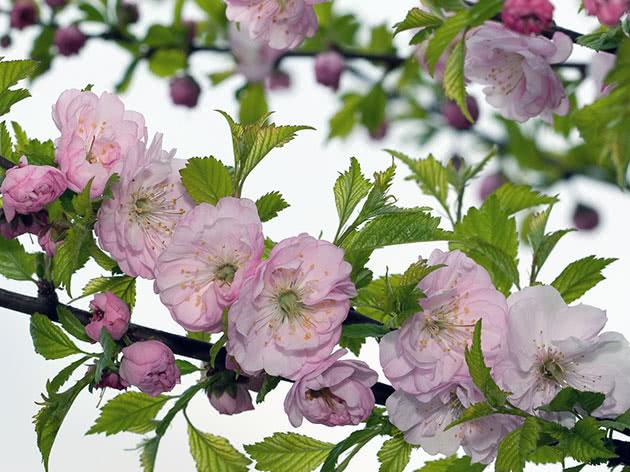 Цветение миндаля на садовом участке