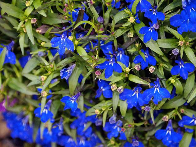 Ампельна рослина лобелія