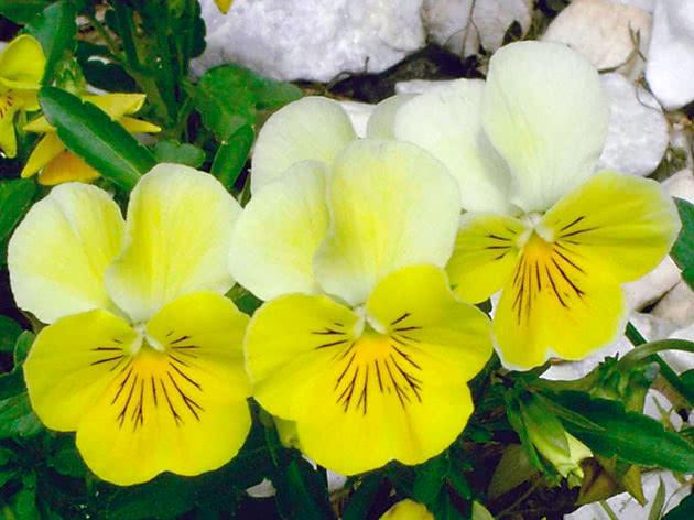Ампельна рослина віола